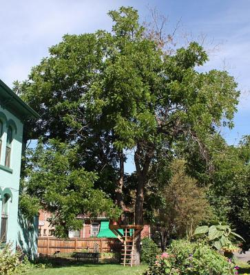 Black walnut tree showing the signs of Thousand Cankers Disease. Photo by Jeffrey Beall. Distributed under Creative Commons Attribution-Share Alike 3.0 Unported license.